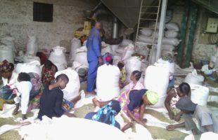 RDC : La production du café a quadruplé en 5 ans au Nord-Kivu