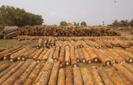 RDC : des critiques acerbes contre des sociétés forestières nuisent à l'industrie locale !