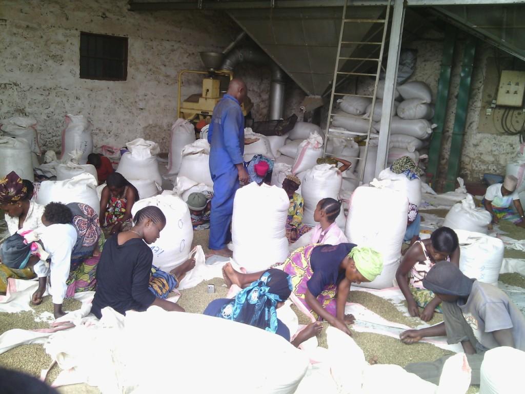 RDC : La production du café a quadruplé en 5 ans au Nord-Kivu 5