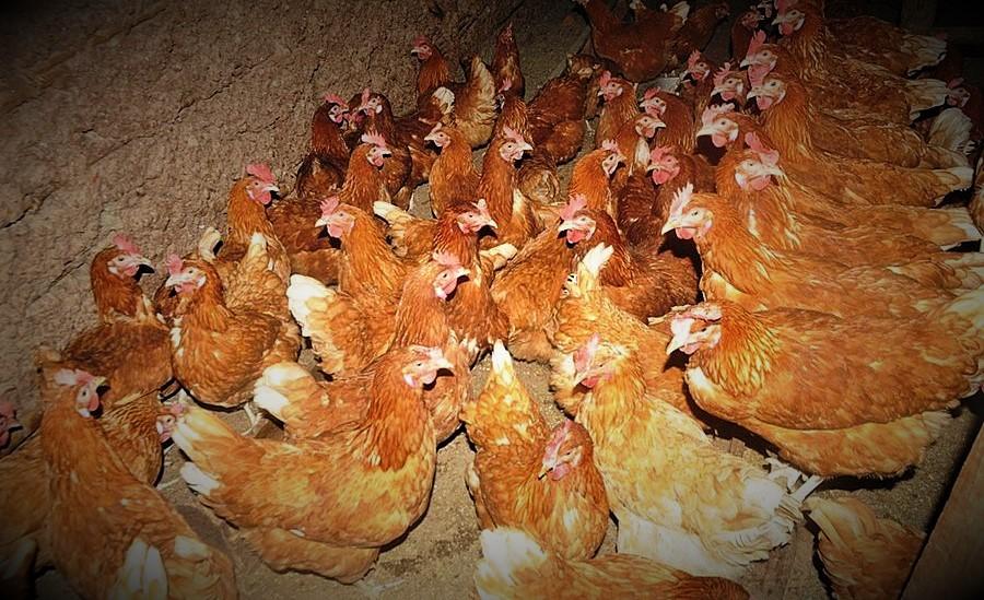 RDC : Goma maintient son interdiction d'importer de la volaille du Rwanda 7
