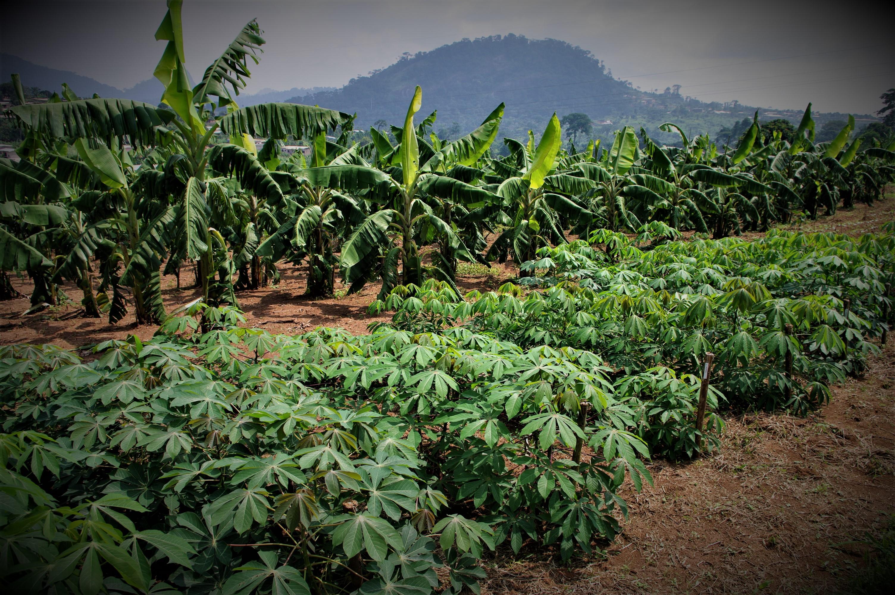 RDC: Menace de crise alimentaire, l'alerte de la FAO !