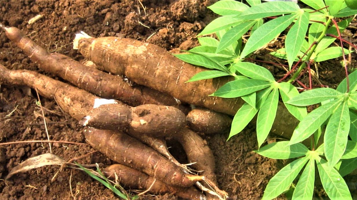 Agriculture manioc