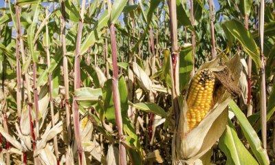 Pénurie du maïs au Lualaba: le gouverneur sollicite Afriland Bank ! 1