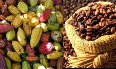 RDC : ONAPAC exhorte la jeunesse à choisir le métier de verger dans la filière café-cacao pour améliorer la production 4